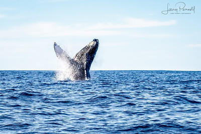 California Gray Whale Dancing
