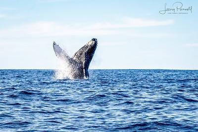 California Gray Whale Dancing