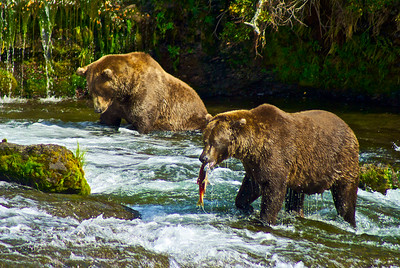 Brown Bears Catching Salmon