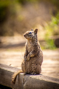 Beach ground squirrel