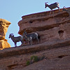 Colorado National Monument - Desert Big Horn Sheep on the monument canyon cliffs