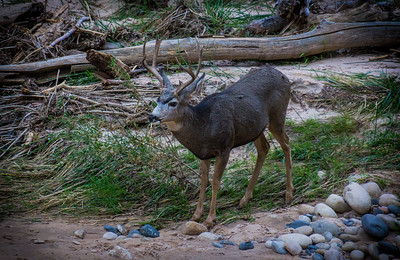 Mule deer in Zion National Park 1