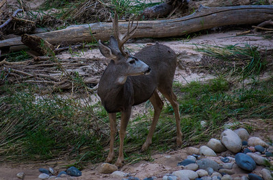 Mule deer in Zion National Park 2