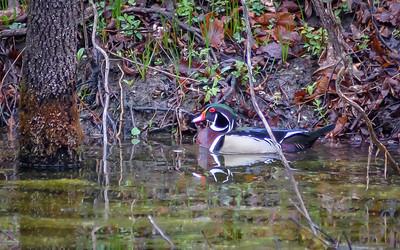 Wood Ducks, Heron & Beaver-27