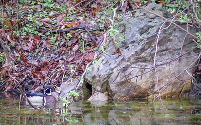 Wood Ducks, Heron & Beaver-26