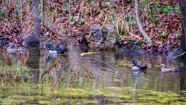 Wood Ducks, Heron & Beaver-6