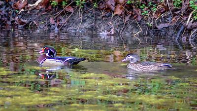 Wood Ducks, Heron & Beaver-25