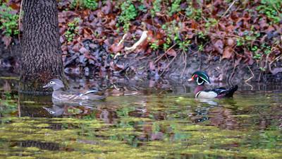 Wood Ducks, Heron & Beaver-24