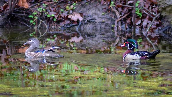 Wood Ducks, Heron & Beaver-23