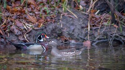 Wood Ducks, Heron & Beaver-21