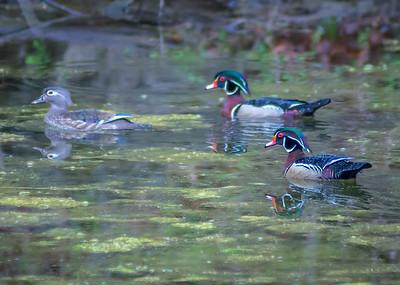 Wood Ducks, Heron & Beaver-2