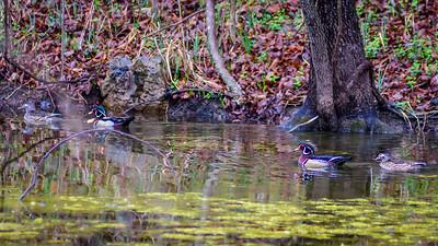 Wood Ducks, Heron & Beaver-5