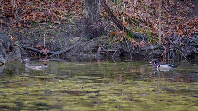 Wood Ducks, Heron & Beaver-20
