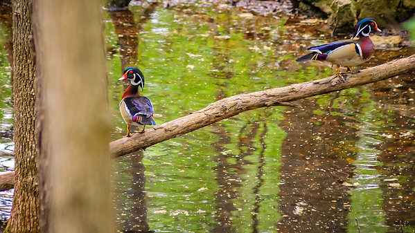 Walking Wood Ducks-2