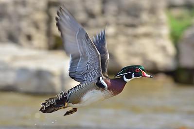 Wood Duck 1040