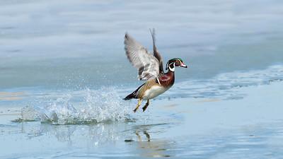 Wood Duck 6023 ...( 16X9 )