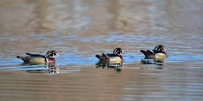 Wood Ducks 7081
