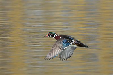 Wood Duck 8331