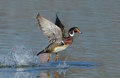 Wood Duck 7535