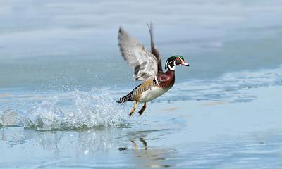 Wood Duck 6023 ... ( 20X12 )
