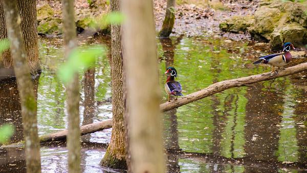 Walking Wood Ducks-3