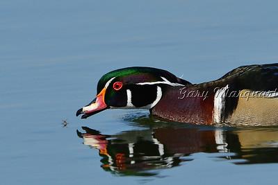 Wood Duck 8887