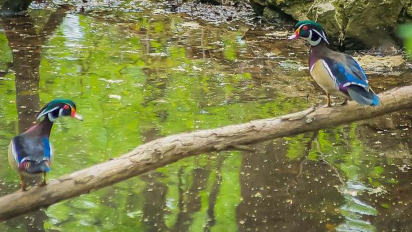 Walking Wood Ducks-4