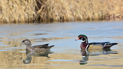 Wood Ducks 6728