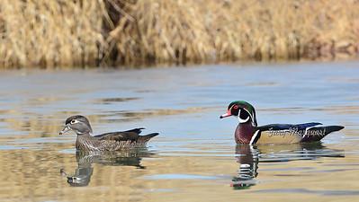 Wood Ducks 6728