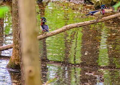 Walking Wood Ducks