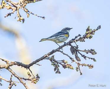 Yellow-rumped Warbler (Myrtle female)