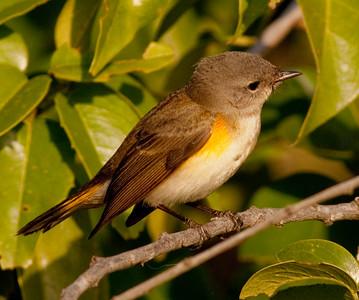 American Redstart  Encinitas  2009 12 02-2.CR2