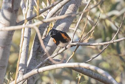 American Redstart Cottonwood Creek Park 2019 11 03-1.CR2