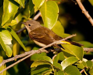 American Redstart  Encinitas  2009 12 02-6.CR2