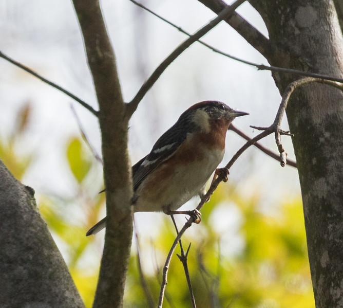 Bay-breasted Warbler Point Loma 2017 06 08-1.CR2