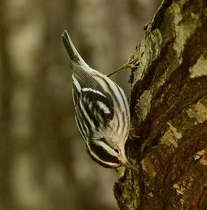Black-and-white Warbler  South Padre Island Texas 2012 03 21-2446.CR2
