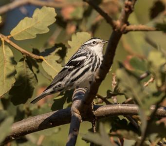 Black -and -white Warbler  Encinitas 2016 10 20-1.CR2