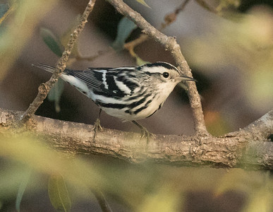 Black-and-white Warbler Cottonwood Creek Park 2016 11 15-3.CR2