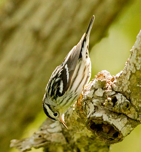 Black-and-white Warbler  South Padre Island Texas 2012 03 21-2443.CR2