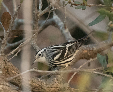 Black-and-white Warbler Cottonwood Creek Park 2016 11 15-1.CR2