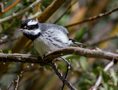 Black-throated Gray Warbler Wild Rose Canyon 2014 08 23 (1 of 2).CR2