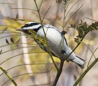 Black-throated Gray Warbler Aviara 2016 12 29-1.CR2