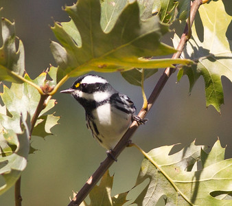 Black-throated Gray Warbler  Cuyamuca State Park  2012 10 18 (2 of 7).CR2
