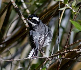 Black-throated Gray Warbler Wild Rose Canyon 2014 08 23 (2 of 2).CR2