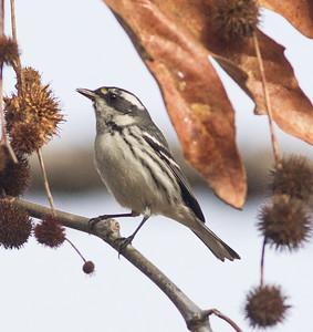 Black-throated Gray Warbler Encinitas 2015 02 10-2.CR2