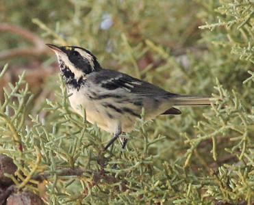 Black-throated Gray Warbler  Tinemaha Reservoir 2012 08 29 (3 of 3).JPG