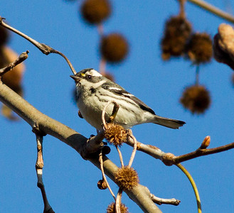 Black-throated Gray Warbler Encinitas 2015 02 10-1.CR2