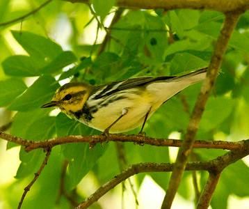Black-throated Green Warbler, Fronteras Audubon South Texas 2012 03 22-2591.CR2