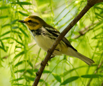 Black-throated Green Warbler, Fronteras Audubon South Texas 2012 03 22-2593.CR2