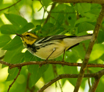 Black-throated Green Warbler, Fronteras Audubon South Texas 2012 03 22-2592.CR2